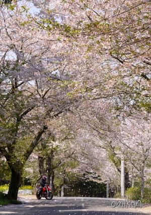Sakuramau