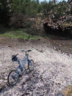 Sakurajiki